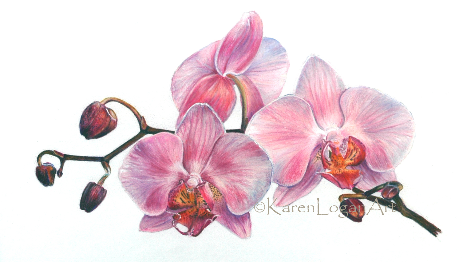 Photo of Pink Phalaenopsis Orchids